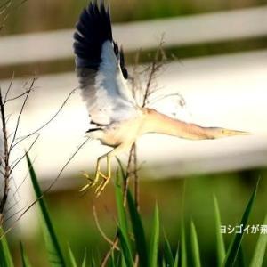 6/06探鳥記録写真(某池の鳥たち:ヨシゴイづくし)