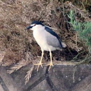 6/06探鳥記録写真-2(サギヤマの鳥たち:ゴイサギ、ホシゴイ、チュウダイサギ、チュウサギ、アマサギ等)
