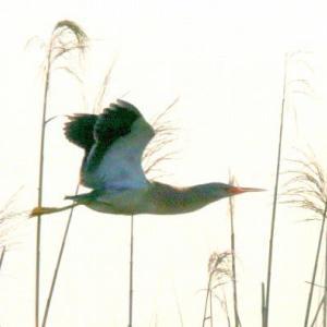6/11探鳥記録写真-2(某池の鳥たち:ヨシゴイ、オオヨシキリ)
