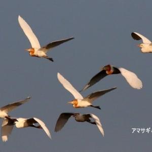 6/11探鳥記録写真-3(サギヤマの鳥たち:アマサギ、チュウダイサギ、チュウサギ、ホシゴイ、等)