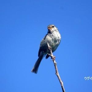 6/12探鳥記録写真-2(はまゆう公園の鳥たち:ウグイス、ホオジロ、カワラヒワ)