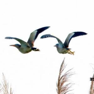 6/13探鳥記録写真(某池の鳥たち:ヨシゴイ、コヨシキリ)