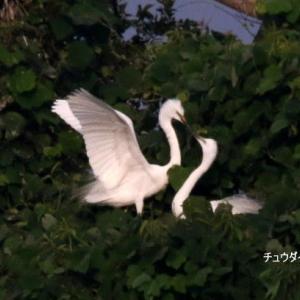 6/13探鳥記録写真-2(サギヤマの鳥たち:ゴイサギ、チュウダイサギ、チュウサギ、アマサギ等)