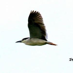 6/14探鳥記録写真-3(サギヤマの鳥たち:ゴイサギ、チュウダイサギ、チュウサギ、アマサギ等)