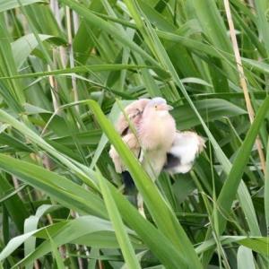 6/14探鳥記録写真-2(某池の鳥たち:ヨシゴイ、バン)