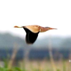 6/15探鳥記録写真-3(某池の鳥たち:ヨシゴイ、ダイサギ、コサギほか)
