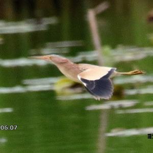 6/16探鳥記録写真-3(6月上旬に出会った鳥たち:ヨシゴイ、ゴイサギ、チュウダイサギ、アマサギほか)