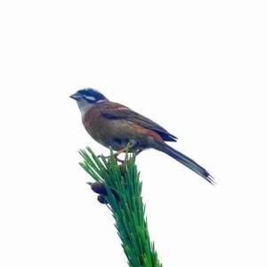 6/16探鳥記録写真-2(はまゆう公園の鳥たち:ホオジロ、カワラヒワ)