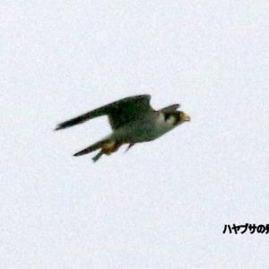 6/16探鳥記録写真(狩尾岬の鳥たち:ハヤブサの飛翔)