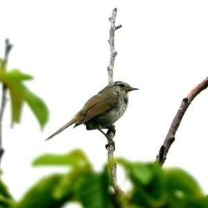 6/17探鳥記録写真-3(はまゆう公園の鳥たち:ウグイス、ホオジロ、)