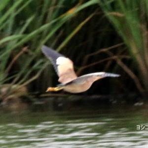 6/18探鳥記録写真-2(某池の鳥たち:ヨシゴイ、アマサギ、コサギ、オオヨシキリほか)