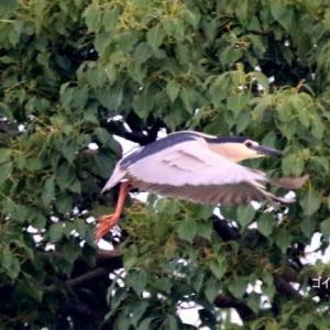 6/24探鳥記録写真(サギヤマの鳥たち:ゴイサギ、チュウダイサギ、チュウサギ、アマサギ等)