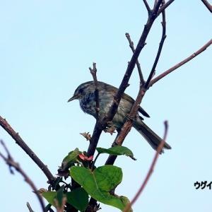 6/24探鳥記録写真-3(はまゆう公園の鳥たち:ウグイス、ホオジロ、コゲラ)