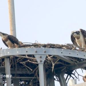 7/03探鳥記録写真-3(某鉄塔上に、3羽のミサゴを確認)