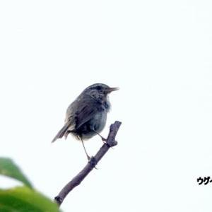 7/03探鳥記録写真-2(はまゆう公園の鳥たち:ウグイス、ホオジロ、カワラヒワ)