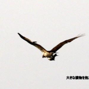 7/03探鳥記録写真(狩尾岬の鳥たち:ミサゴづくし)
