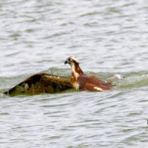 7/07探鳥記録写真-2(遠賀川河口堰の鳥たち:ミサゴの狩り、ダイサギ、カワウ))