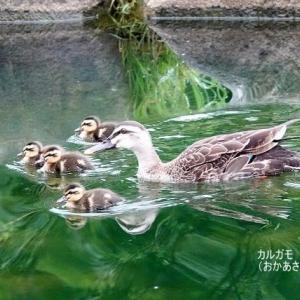 7/08探鳥記録写真-2(北九州中央公園:カルガモの雛等)