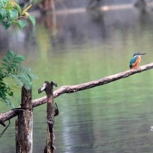 7/08探鳥記録写真(北九州中央公園のカワセミ、カルガモの雛等)