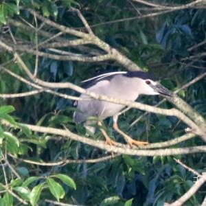 7/09探鳥記録写真-2(サギヤマの鳥たち:ゴイサギ、ホシゴイ、ダイサギ、チュウサギほか)