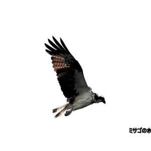 7/09探鳥記録写真(狩尾岬の鳥たち:ミサゴのホバリング、クロサギ)