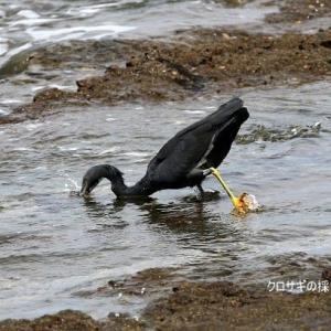 7/10探鳥記録写真(狩尾岬の鳥たち:クロサギの採餌模様、ミサゴのホバリング、)