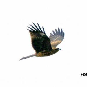 7/10探鳥記録写真-2(遠賀川河口堰の鳥たち:トビの飛翔、ダイサギ)