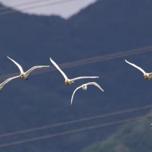 7/16探鳥記録写真-3(某池の鳥たち:ミサゴ、チュウダイサギ、アマサギ、ほか)