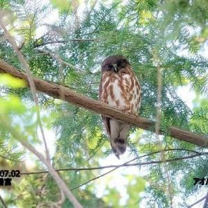 7/16探鳥記録写真-2(7月上旬に出会った鳥たち:アオバズク、ゴイサギ、カワセミほか)