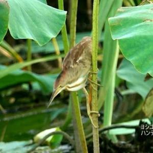 7/24探鳥記録写真(某池の鳥たち:ヨシゴイ幼鳥のハンティングポーズ12態)