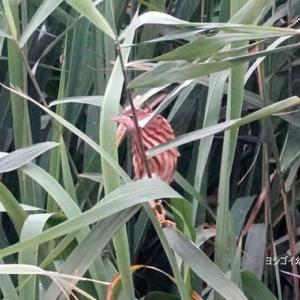 7/25探鳥記録写真(某池の鳥たち:ヨシゴイ幼鳥、コサギ、アマサギほか)