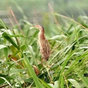 7/26探鳥記録写真(某池の鳥たち:ヨシゴイ、コサギ、ダイサギ、ホシゴイほか)