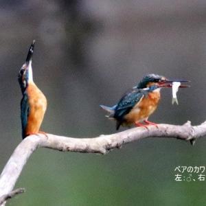 7/28探鳥記録写真-2(中央公園の鳥たち-1:カワセミ、アオサギ、カルガモ)