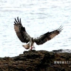 7/28探鳥記録写真(狩尾岬の鳥たち:クロサギ、トビ、ミサゴ)