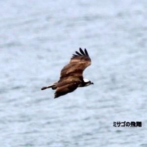 7/29探鳥記録写真-2(狩尾岬の鳥たち:クロサギ、ミサゴ)