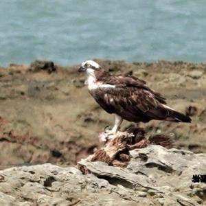 7/30探鳥記録写真(狩尾岬の鳥たち:クロサギ、岩礁上のミサゴ)