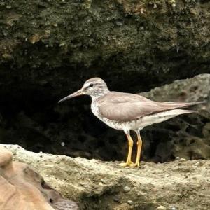 7/31探鳥記録写真-3(狩尾岬の鳥たち:キアシシギ、クロサギ、岩礁上のミサゴ)