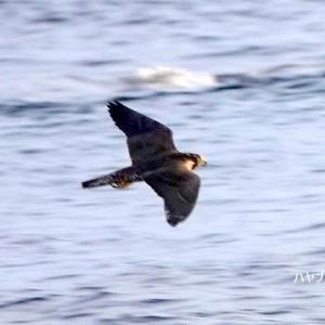 8/04探鳥記録写真-2(狩尾岬の鳥たち:ハヤブサ、キアシシギ、クロサギ、トビ)