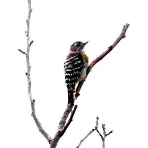 8/04探鳥記録写真(はまゆう公園の鳥たち:モズ、コゲラ、ホオジロ)