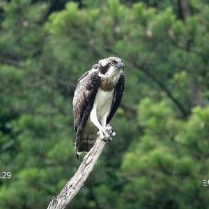 8/05探鳥記録写真(7月下旬に出会った鳥たち:キアシシギ、ヨシゴイ幼鳥、ミサゴ幼鳥、ゴイサギ、カワセミほか)