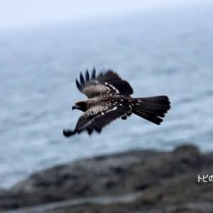 8/08探鳥記録写真-3(狩尾岬の鳥たち-1:トビの飛翔)
