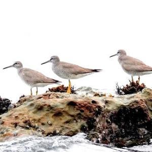 8/09探鳥記録写真(狩尾岬の鳥たち-2:キアシシギ、ミサゴ、クロサギ)