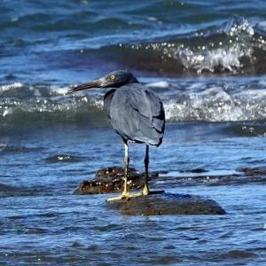 9/17探鳥記録写真7-2(狩尾岬の鳥たち:クロサギ、イソヒヨドリ、)