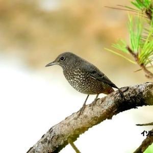 9/18探鳥記録写真-2(はまゆう公園の鳥たち:イソヒヨドリ、ホオジロ、キジバト)