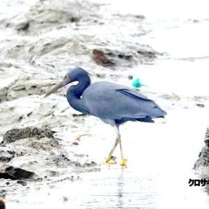 9/19探鳥記録写真-2(狩尾岬の鳥たち:クロサギ、ミサゴ、イソヒヨドリ、エナガ、)