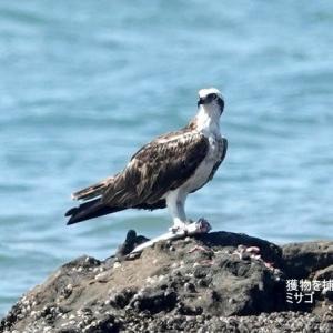 9/19探鳥記録写真(若松北海岸:千畳敷の景観とミサゴ)
