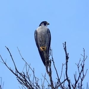 9/20探鳥記録写真(狩尾岬の鳥たち:ハヤブサ、クロサギ、イソヒヨドリ、)