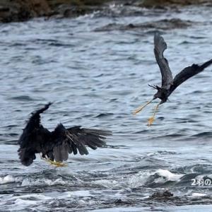 9/21探鳥記録写真(狩尾岬の鳥たち:2羽のクロサギの戯れ)