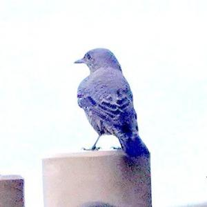 9/21探鳥記録写真-2(狩尾岬の鳥たち:クロサギ、ミサゴ、イソヒヨドリほか)