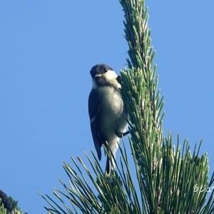 9/22探鳥記録写真-2(はまゆう公園の鳥たち:ヤマガラ、シジュウカラ,ホオジロ、トビ)